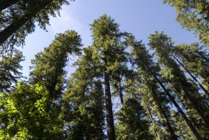 low angle view of tall evergreens in Oregon on a sunny day